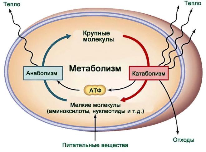 Статья Что такое метаболизм и как его ускорить